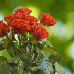 red roses flowers on a green background