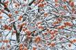 柿に積もる雪