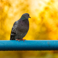 Pigeon sitting on a pipe
