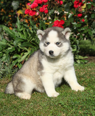 Beautiful puppy of siberian husky in the garden