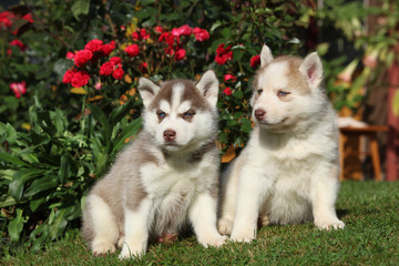 Two gorgeous puppies sitting in front of red roses