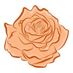 orange rose isolated illustration