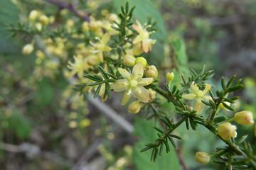 asparago selvatico (Asparagus acutifolius) - infiorescenza