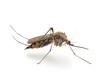 Bloodsucker mosquito (Culex pipiens) - 75750532