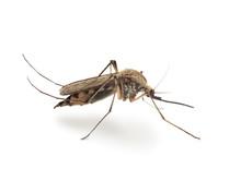"""Постер, картина, фотообои """"Bloodsucker mosquito (Culex pipiens)"""""""