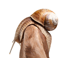 Garden snail bend over stone