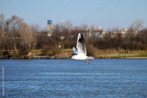 canvas print picture Fliegende Möwe am Fluss