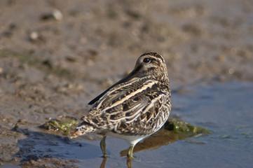 beccaccino (Gallinago gallinago) nel fango