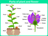 Fototapety Leaning Parts of plant and flower for kids -  Worksheet