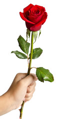 beautiful rose in hand  isolated on white background