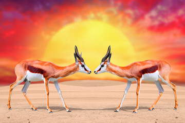 Two Springbok Antelope (Antidorcas marsupialis) against sunset.