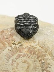 winziger Trilobit auf Ammonit (vertikal)