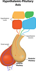 Hypothalamic Pituitary Axis