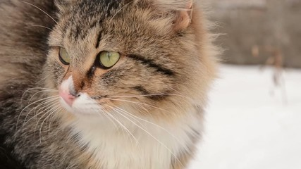 fluffy cat winter walks on nature