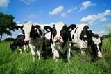 Rinder auf einer Viehweide, Nahaufnahme