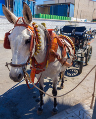 beautiful horse pulling a carriage bells and participate in the