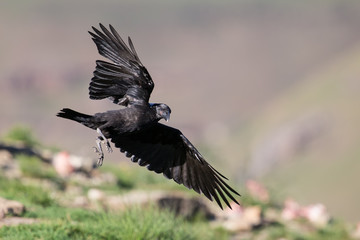 White necked raven gliding is a strong wind on top of maointain