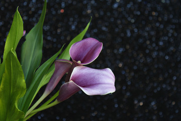 Bouquet of purple calla lilies