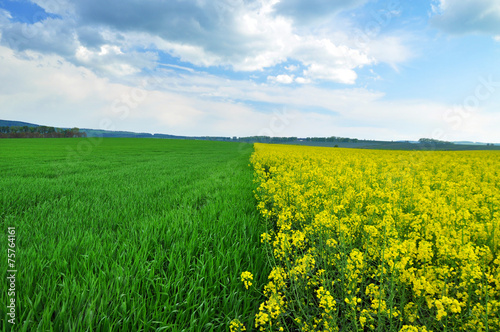 Canola agriculture field - 75764161