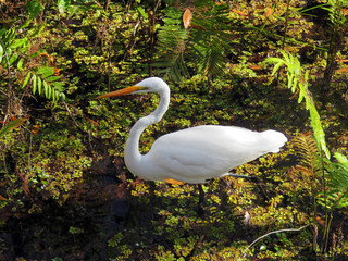 Great Egret at Six Mile Cypress Slough Preserve Florida