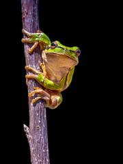 climbing European tree frog on black background