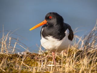 Eurasian oystercatcher also known as the common pied oystercatch