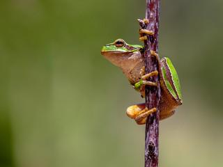 Friendly European tree frog