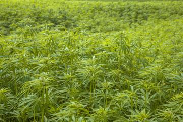 Marihuana plantation Background