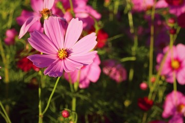 Colorful of cosmos flower in the garden