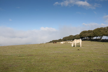 White horse and sheep resting in a field