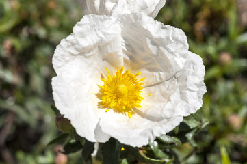 Flowers of Gum rockrose, Cistus ladanifer