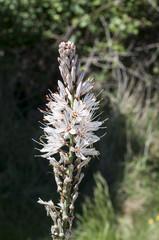Flowers of White asphodel, Asphodelus albus
