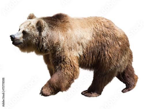 Papiers peints Nature Bear. Isolated over white