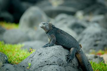 iguanas in san cristobal galapagos islands