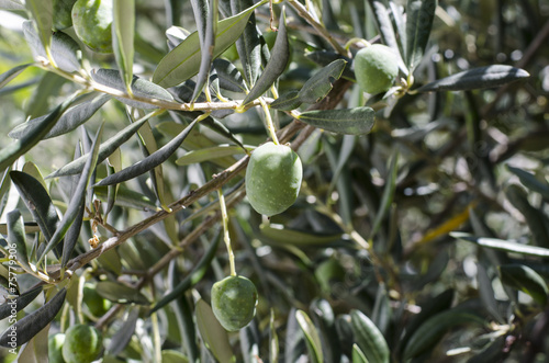 Foto op Canvas Olijfboom olive branch