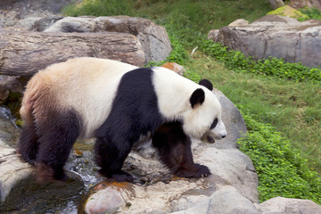 Большая панда (белая панда)