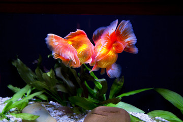 Золотая рыбка – Вуалехвост