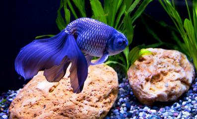 Рыбка Синий вуалехвост