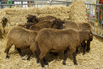 The lamb corral