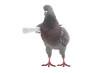 grey dove - 75790717