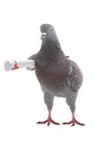grey dove
