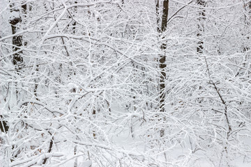 Branches background covered with snow