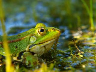 Frosch mit Alge