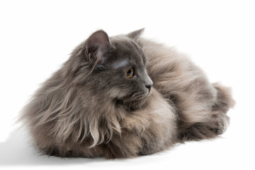 Little Persian kitten
