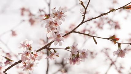 beautiful sakura flowers in spring closeup footage, shoot in raw