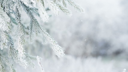 winter background with frosty fir branches