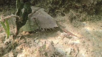 Florida Keys Catching Horseshoe Crab underwater