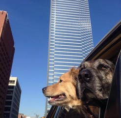 Catahoula Leopard Dog in Downtown Dallas
