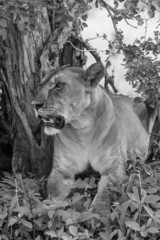 Lionne à l'ombre noir et blanc