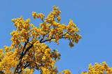 oak yellow branches